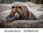 Male Alaskan Brown Bear Restin...