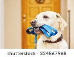 Stock photo labrador retriever with leash is waiting for walk 324867968