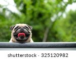 Stock photo happy pug 325120982