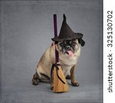 Pug Dog Dressed As A Witch For...