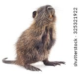 Baby Nutria Isolated On A Whit...