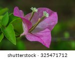 bougainvillea  flowers  insects ... | Shutterstock . vector #325471712