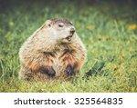 Groundhog In Vintage Garden...