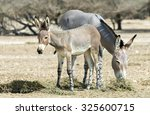 Baby And Adult Of Somali Wild...