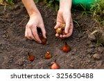 Planting Flower Bulbs  Tulip ...