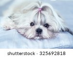 Shih Tzu Dog Lying On Bed....