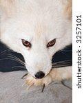 Small photo of Arctic Fox (Alopex lagopus) rests head on paw - captive animal