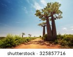 baobab trees along the unpaved... | Shutterstock . vector #325857716