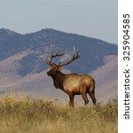 Large Bull Elk Standing On...