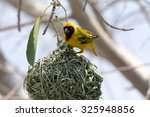 Weaver Bird Building A Nest....