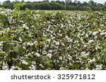 cotton row with ripe cotton...   Shutterstock . vector #325971812