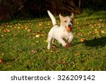 Jack Russel Terrier Dog Runnin...