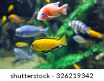 Multicolored Malawi Cichlids....