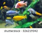 Multicolored Malawi Cichlids....
