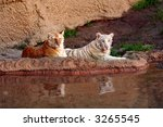 Pair of Tigers - stock photo