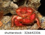 Small photo of Underwater view of a red hairy sponge crab (Dromidia spp.)