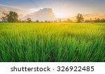Rice Field Green Grass...