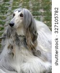 Small photo of Dog of the breed Afghan Hound