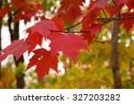 Red Maple  Acer Rubrum  Leaves...