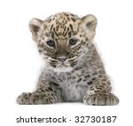 Persian Leopard Cub  6 Weeks ...