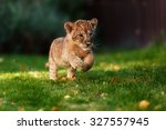 young lion cub in the wild | Shutterstock . vector #327557945