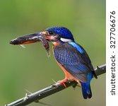Small photo of Beautiful bird, female Blue-eared Kingfisher on feeding time on green background.(Alcedo meninting)