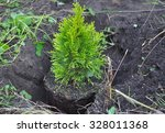 Planting Cypress  Thuja With...