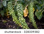 brussels sprouts on field | Shutterstock . vector #328339382