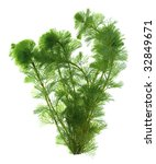 Green Seaweed Isolated On Whit...