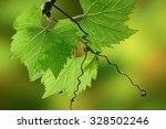 Grapevine Leaves With Water...