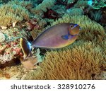 Small photo of Juvenile unicornfish (surgeonfish, Acanthuridae) over soft coral
