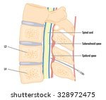 cross section of the spine... | Shutterstock .eps vector #328972475