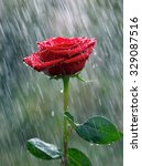 Red Rose With Waterdrops Into...