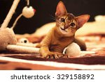 Stock photo playful abyssinian cat hunting toy mouse 329158892