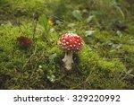 Wild Amanita Muscaria Mushroom...