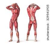 3d muscular anatomy  ... | Shutterstock . vector #329541935