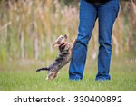 Stock photo yorkie jumping up at owners legs 330400892
