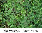 American Common Ragweed  ...