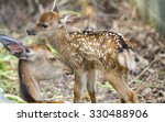 Detailed View Of Fawn And Mom...