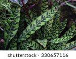 rattlesnake plant scientific... | Shutterstock . vector #330657116
