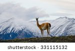 guanaco in the stands on the... | Shutterstock . vector #331115132
