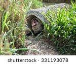 bat eared fox  otocyon... | Shutterstock . vector #331193078