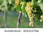 view of vineyard row with... | Shutterstock . vector #331312766