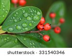 Cotoneaster Berries And Leaves...
