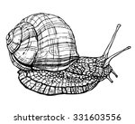 Burgundy Or Edible Snail Sketc...
