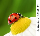 big ladybug - stock photo