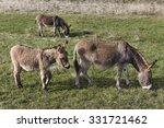 Three Donkeys On The Pasture