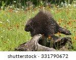 porcupine  erethizon dorsatum ... | Shutterstock . vector #331790672