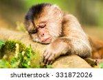 capuchin monkey cub lying on a... | Shutterstock . vector #331872026
