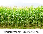 Young Corn Tree.cornfield In...
